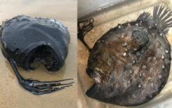 Cá quái vật biển sâu xuất hiện trên các bãi biển của Mỹ, được bao phủ bởi khối u dày đặc, màu đen sâu và miệng to bất thường
