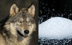 Khi gặp sói trong tự nhiên, tại sao người mang muối lại có thể sống sót? Sau khi đọc nhiều người mới hiểu ra!
