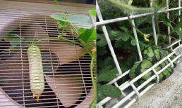 Quả dưa chuột mọc ở vị trí 'hiểm hóc' khiến gia chủ không biết thu hoạch kiểu gì?