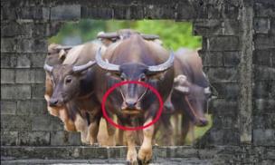 Tại sao trâu, bò bị buộc mũi, nhưng ngựa và lừa thì không? Lý do đằng sau có thể bạn không nghĩ tới