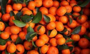 Khi mua quýt đường nên chọn loại có hay không có lá? Người trồng hoa quả: 5 điểm này đảm bảo độ ngon và ngọt của quýt