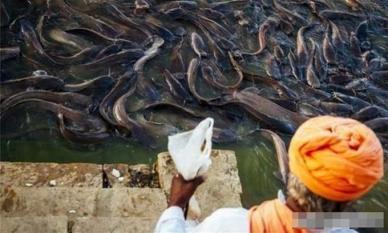 Loài cá tràn ngập sông Hằng ở Ấn Độ! Tại sao người dân địa phương không dám ăn và cũng không thể xuất khẩu?