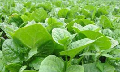 3 loại rau có thể dưỡng gan, giải độc, dọn rác trong ruột, và giúp giữ vóc dáng thon gọn