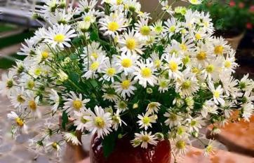 Mẹo để cúc họa mi tươi lâu, chỉ cần bỏ 1 thìa gia vị này là hoa nở rực rỡ cả tuần không lo héo