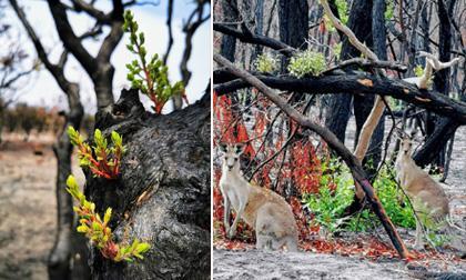 Cảm động hình ảnh sự sống đang dần hồi sinh trên những thân cây cháy đen sau thảm họa cháy rừng ở Úc
