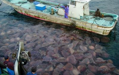 Cơn ác mộng của ngư dân Nhật Bản, một lũ sứa khổng lồ từng tấn công tàu đánh cá và chiếm đóng cả nhà máy điện hạt nhân