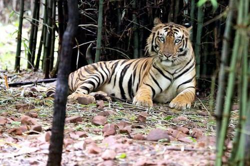 Hổ ấn độ, ấn độ, hổ ăn thịt người, hổ tấn công người