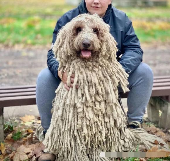 chó Comondo, cây lau nhà
