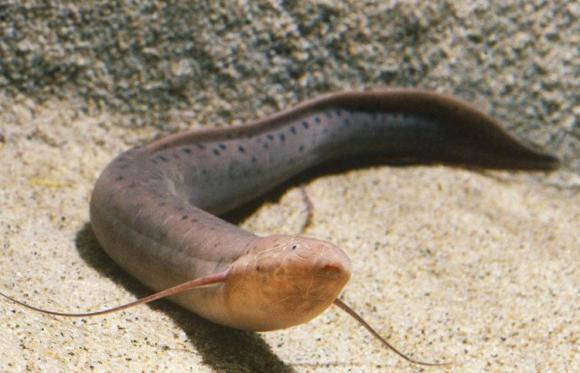 loài cá kỳ dị nhất thế giới, cá phổi châu phi, cá sống ở sa mạc