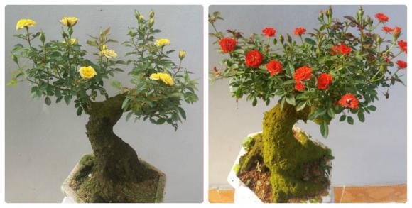 Cây cảnh tết,hoa hồng cổ