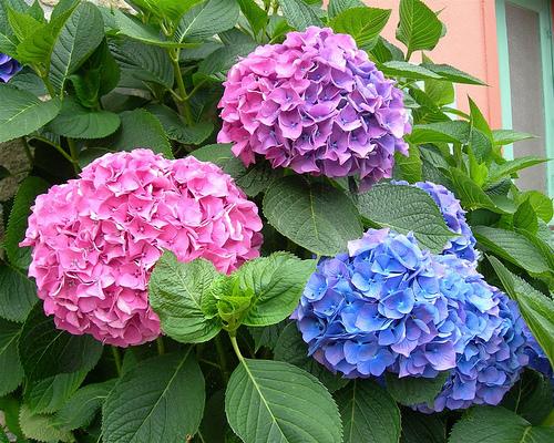 hoa gây hại cho sức khỏe, loại cây nào không nên mua, tránh khi mua hoa