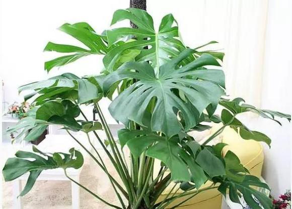 hút thuốc là, cây tốt, chọn cây cho không khí, cây hấp thụ khí độc