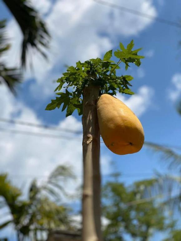 đu đủ, trái cây, hình ảnh độc lạ,