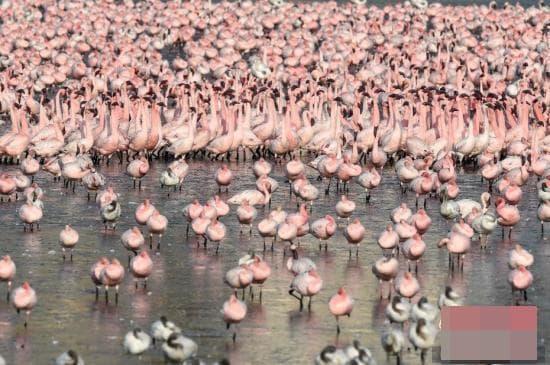 chim hồng hạc, hong hac, chim quý