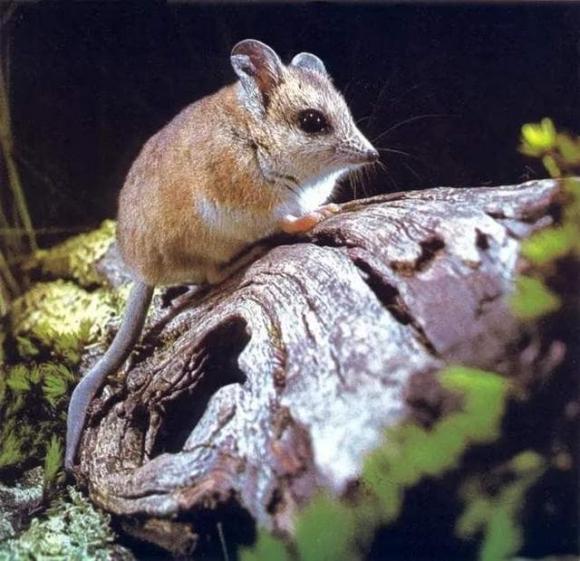 chuột chù, chuột chù chân rộng, giao phối dài