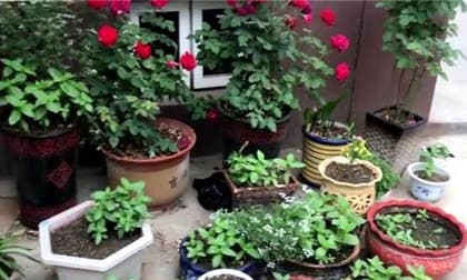 trồng cây, cây cảnh, chăm sóc cây