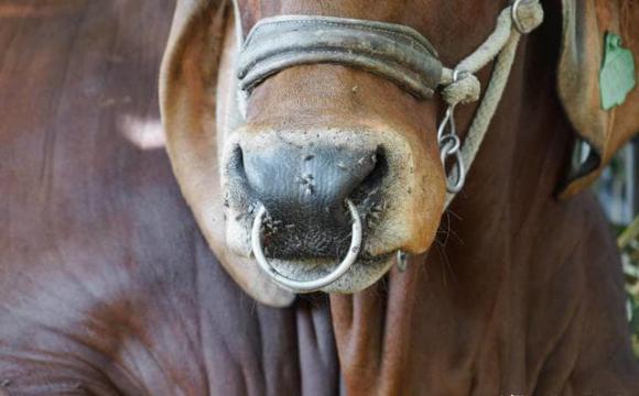 tại sao trâu, bò bị buộc mũi, tại sao buộc mũi bò, gia súc