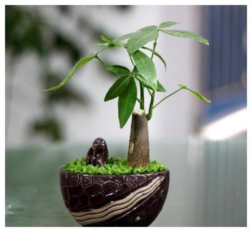 cây cảnh, cây may mắn, cây phong thủy