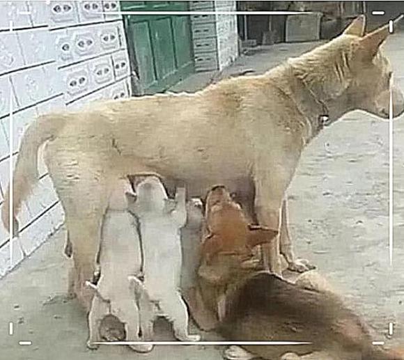 nuôi chó, chuyện lạ, chó bú