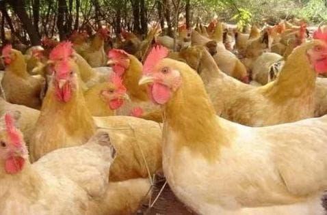 tuổi thọ của gà, kiến thức, gà