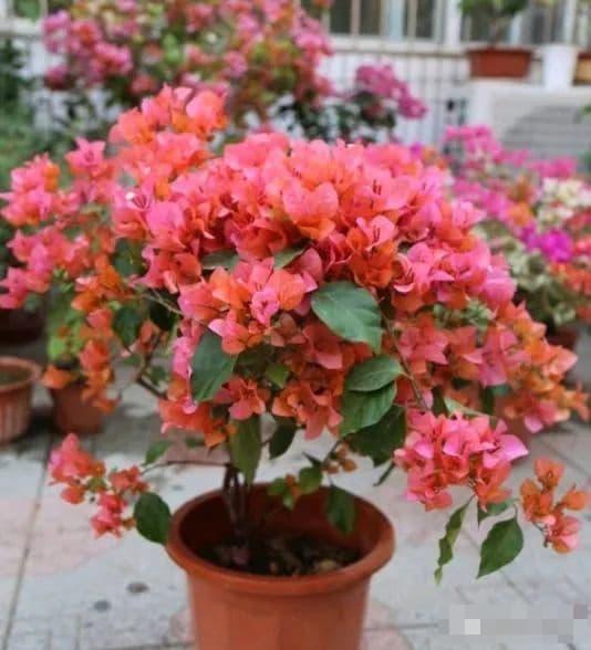 cây cảnh, hoa giấy, chăm sóc cây