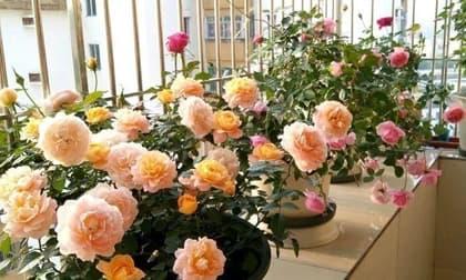 cây cảnh, hoa chịu lạnh, hoa tết