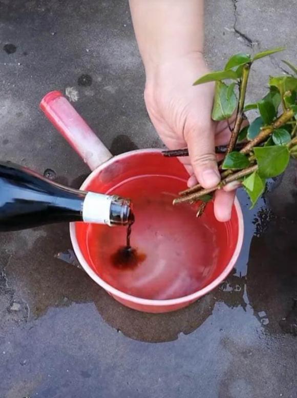 cách trồng hoa giấy, lưu ý khi trồng hoa giấy, mẹo để trồng hoa giấy