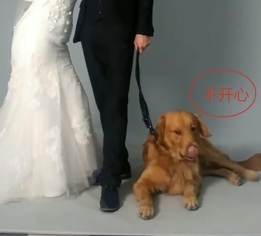 chó Golden Retriever trung thành, tình huống hài hước, chú chó thông minh