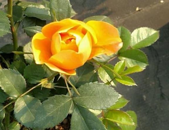 cách trồng hoa hồng, cây hoa hồng, trộn đất trồng hoa hồng