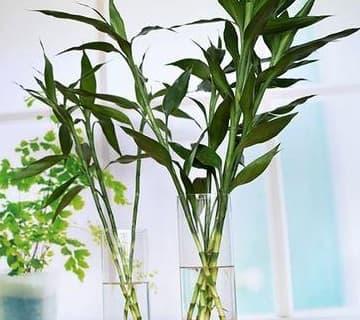 trồng cây trúc phú quý, trúc phú quý, lưu ý khi trông cây cảnh