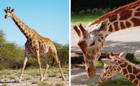 Động vật mang thai bao lâu? Ngắn nhất là hai tuần, lâu nhất hơn 1 năm