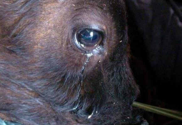 bò, tại sao bò khóc trước khi bị giết, bò rơi nước mắt, chuyện lạ