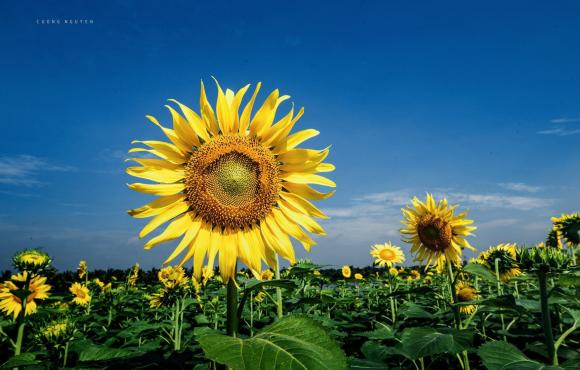 cánh đồng hoa hướng dương, Ecopark, du lịch gần hà nội