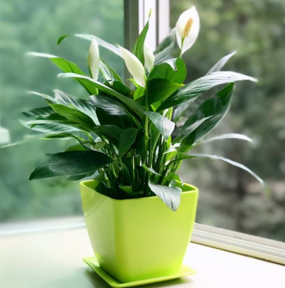 cây cảnh, cây dễ chăm, cây trong nhà mang ý nghĩa may mắn