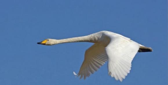 loài chim lớn nhất, chim hải hâu, thuần hóa chim