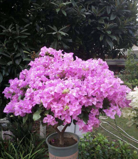 hoa giấy Brazil tím, cây cảnh, hoa giấy