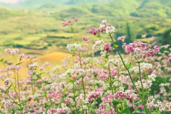 hoa tam giác mạch, Hà Giang