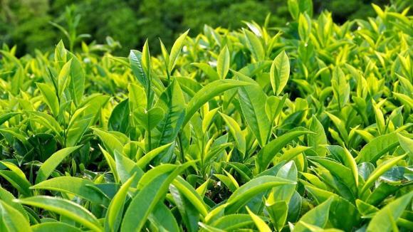Trà xanh, sức khỏe, lợi ích của Trà xanh