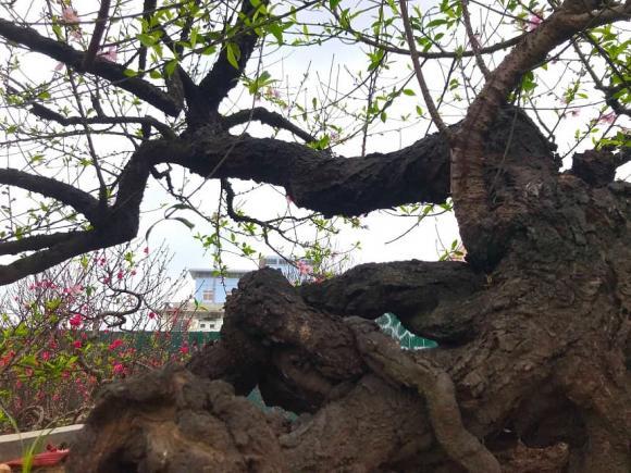 đào Tết, cây cảnh, Nghệ An, đại gia