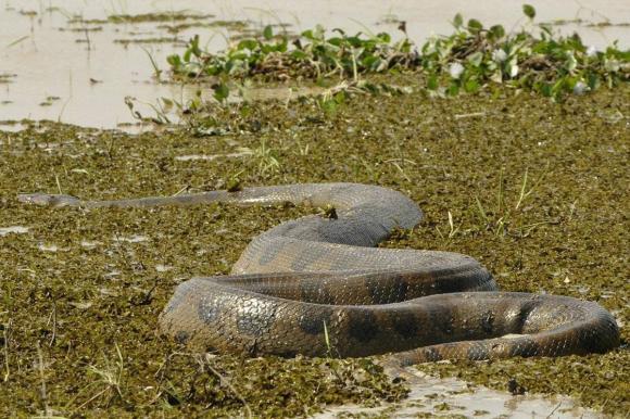Sông Amazon khủng khiếp như thế nào? Có một cậu bé bị rơi xuống sông và bị ăn thịt chỉ trong tích tắc