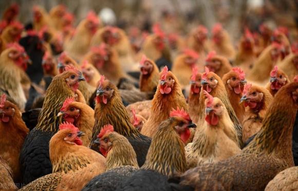 đi chợ, chọn mua, mẹo hay, chọn mua gà, cách chọn gà