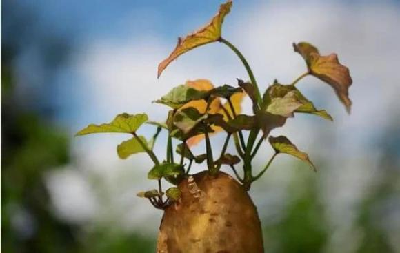 rau mọc mầm, sức khỏe, an toàn thực phẩm,