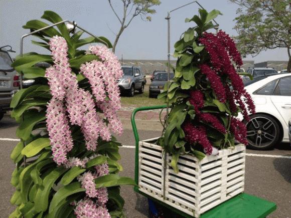 Vườn lan Berry, Lan đột biến, Thái Bình