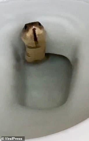 khoảnh khắc thót tim, rắn hổ mang, rắn trong toilet