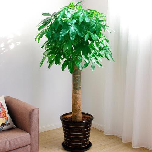 cây chịu hạn tốt, cây lưỡi hổ, cây kim ngân
