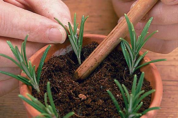 cây hương thảo, cách trồng cây hương thảo, kiến thức