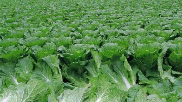 an toàn thực phẩm, rau sạch, thuốc trừ sâu
