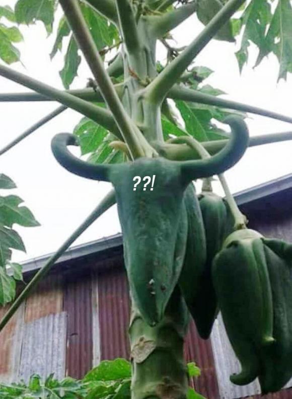 hoa quả, đu đủ, trái cây đột biến
