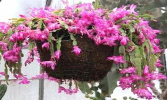 dùng vỏ chuối để trồng hoa, chăm sóc hoa, lưu ý khi trồng hoa