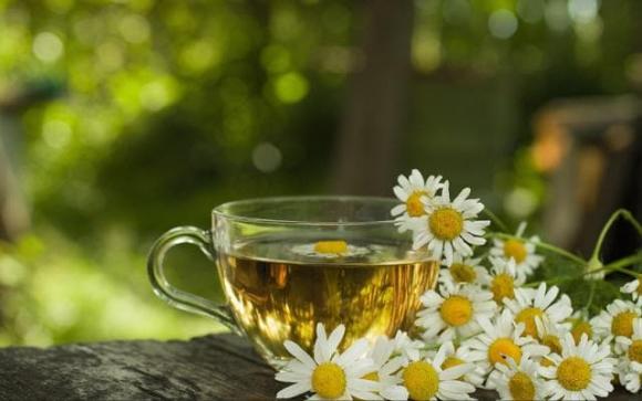 hoa cúc, trà hoa cúc